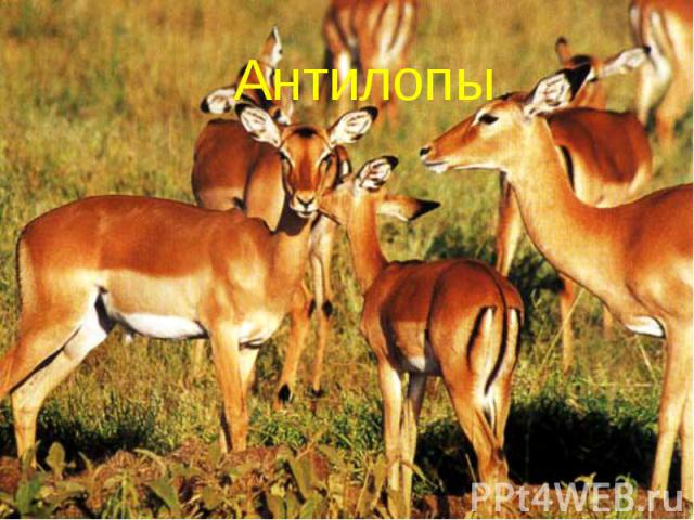 Антилопы