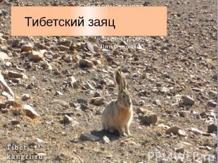 Тибетский заяц