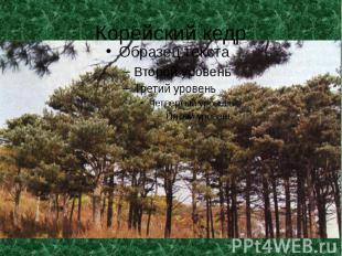Корейский кедр