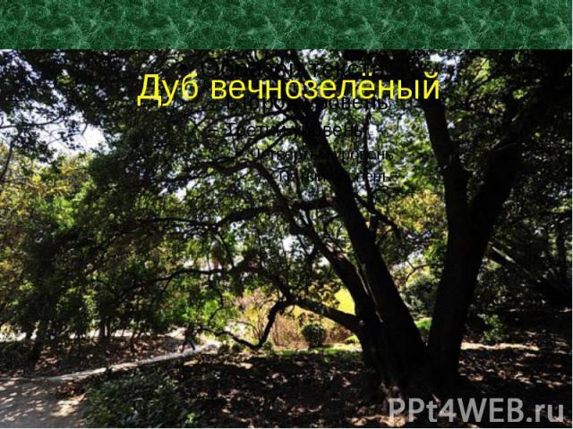 Дуб вечнозелёный