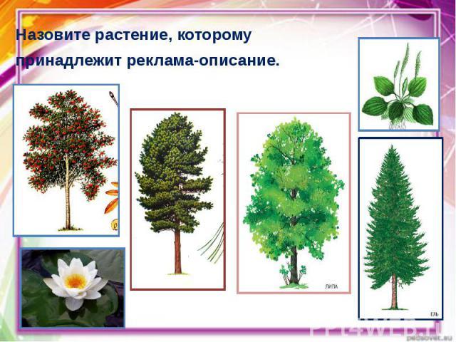 Назовите растение, которому Назовите растение, которому принадлежит реклама-описание.