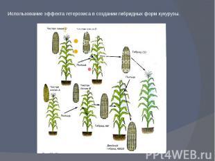 Использование эффекта гетерозиса в создании гибридных форм кукурузы.