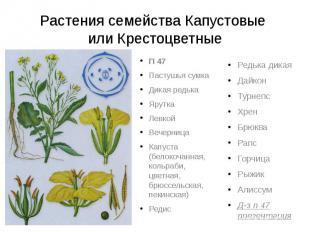 Растения семейства Капустовые или КрестоцветныеП 47Пастушья сумкаДикая редькаЯру