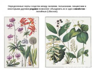 Определенные черты сходства между лилиями, тюльпанами, гиацинтами и некоторыми д