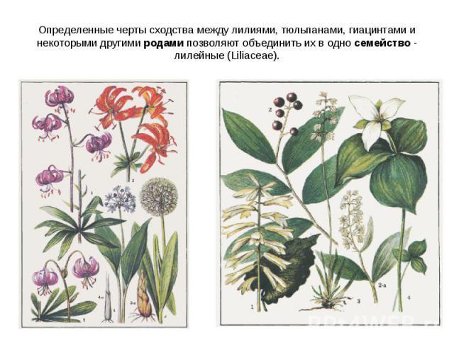 Определенные черты сходства между лилиями, тюльпанами, гиацинтами и некоторыми другими родами позволяют объединить их в одно семейство - лилейные (Liliaceae).