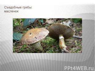 Съедобные грибы: масленок