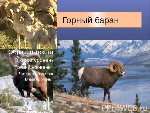 информация о северном баране