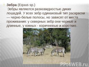 Зебра(Equus sp.) Зебры являются разновидностью диких лошадей.