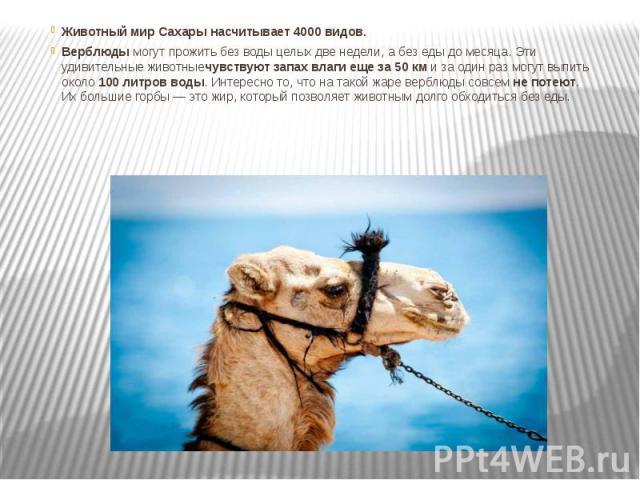 Животный мир Сахары насчитывает 4000 видов. Верблюдымогут прожить без воды целых две недели, а без еды до месяца. Эти удивительные животныечувствуют запах влаги еще за 50 кми за один раз могут выпить около100 литров воды. Интересно…