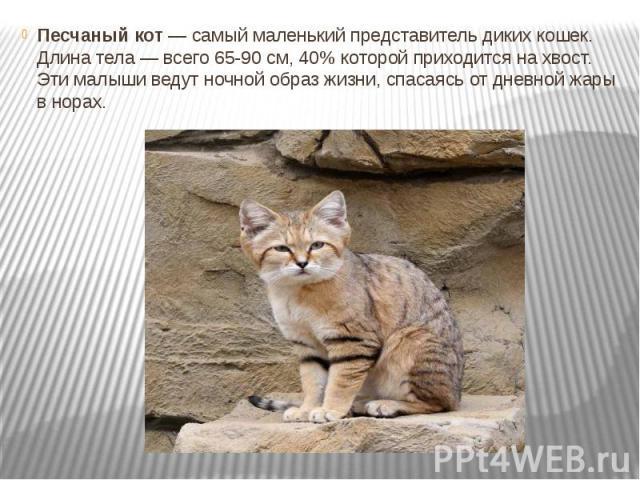 Песчаный кот— самый маленький представитель диких кошек. Длина тела — всего 65-90 см, 40% которой приходится на хвост. Эти малыши ведут ночной образ жизни, спасаясь от дневной жары в норах.