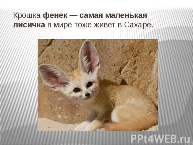Крошкафенек — самая маленькая лисичкав мире тоже живет в Сахаре.