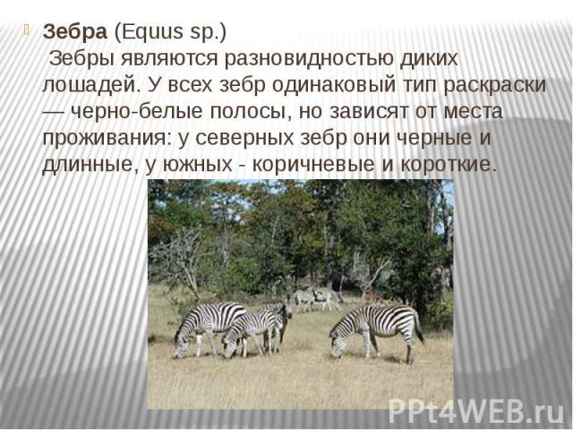 Зебра(Equus sp.) Зебры являются разновидностью диких лошадей. У всех зебр одинаковый тип раскраски — черно-белые полосы, но зависят от места проживания: у северных зебр они черные и длинные, у южных - коричневые и короткие.