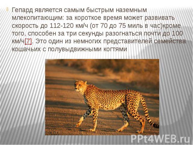 Гепард является самым быстрым наземным млекопитающим: за короткое время может развивать скорость до 112-120 км/ч (от 70 до 75 миль в час)кроме того, способен за три секунды разогнаться почти до 100 км/ч[7]. Это один из немногих представителей семейс…