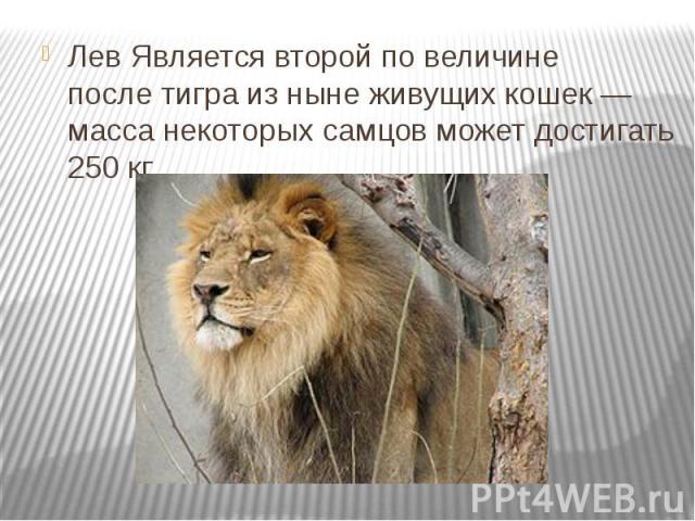 ЛевЯвляется второй по величине послетиграиз ныне живущих кошек— масса некоторых самцов может достигать 250 кг