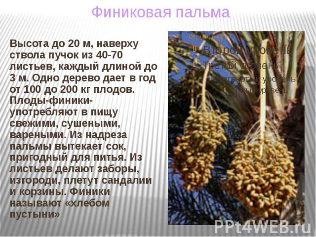 Высота до 20 м, наверху ствола пучок из 40-70 листьев, каждый длиной до 3 м. Одно дерево дает в год от 100 до 200 кг плодов. Плоды-финики-употребляют в пищу свежими, сушеными, вареными. Из надреза пальмы вытекает сок, пригодный для питья. Из листьев…