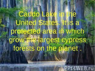 Caddo Lake in the United States. It is a protected area in which grow the larges