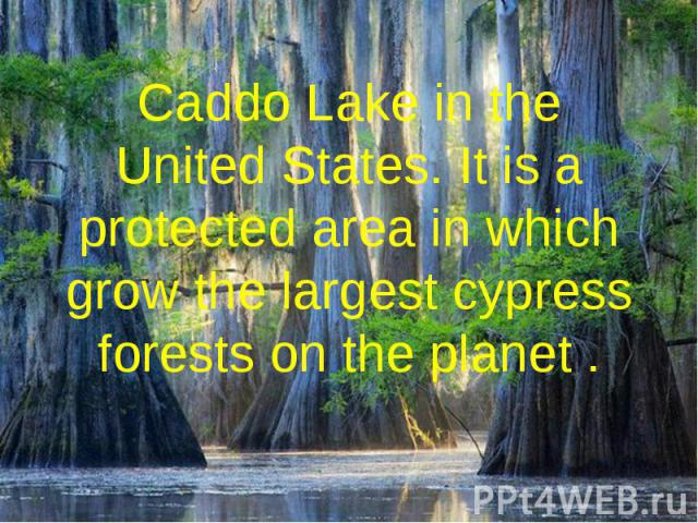Caddo Lake in the United States. It is a protected area in which grow the largest cypress forests on the planet .