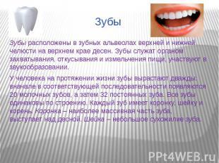 ЗубыЗубы расположены в зубных альвеолах верхней и нижней челюсти на верхнем крае