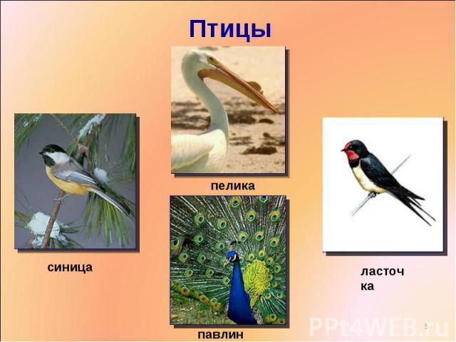 Птицы пеликансиницапавлинласточка