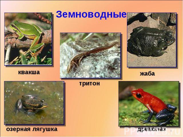 Земноводные квакшатритонжабаозерная лягушкадреволаз