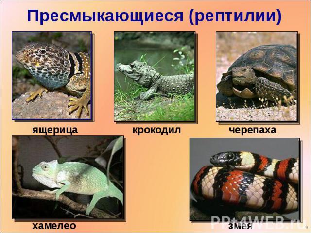 Пресмыкающиеся (рептилии) ящерицакрокодилчерепахахамелеонзмея