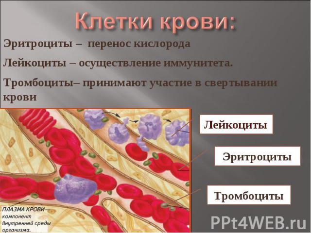 Клетки крови: Эритроциты – перенос кислородаЛейкоциты – осуществление иммунитета.Тромбоциты– принимают участие в свертывании крови