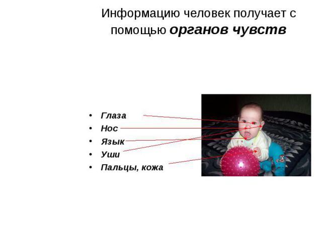 Информацию человек получает с помощью органов чувств ГлазаНосЯзыкУшиПальцы, кожа