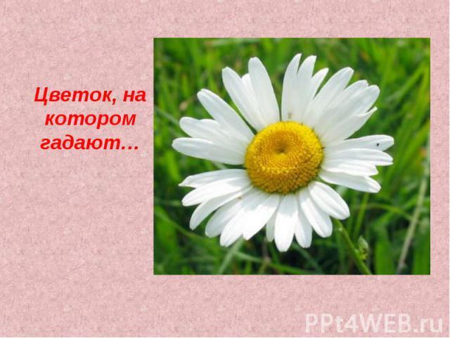 Цветок, на котором гадают…