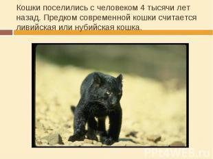 Кошки поселились с человеком 4 тысячи лет назад. Предком современной кошки счита