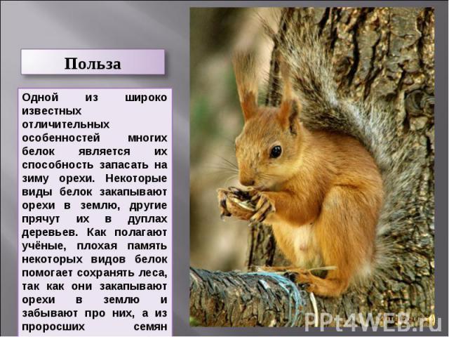 ПользаОдной из широко известных отличительных особенностей многих белок является их способность запасать на зиму орехи. Некоторые виды белок закапывают орехи в землю, другие прячут их в дуплах деревьев. Как полагают учёные, плохая память некоторых в…