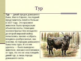 Тур Тур — дикий предок домашнего быка. Жил в Европе, последний представитель пог