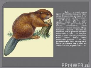 Бобр — крупный грызун, приспособленный к полуводному образу жизни. Длина его тел