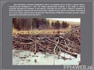 Для возведения плотины выбираются места, где деревья растут ближе к кромке берег