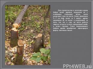 Для строительства и заготовки корма бобры валят деревья, подгрызая их у основани