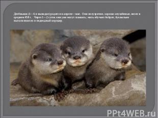 Детёныши (1—6 в выводке) родятся в апреле—мае. Они полузрячие, хорошо опушённые,