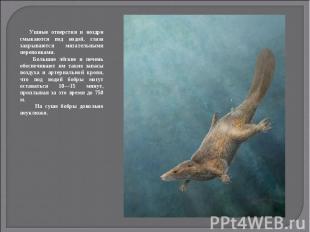 Ушные отверстия и ноздри смыкаются под водой, глаза закрываются мигательными пер