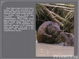 Живут бобры в норах или хатках. Вход в жилище бобра всегда располагается под вод