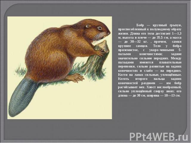 Бобр — крупный грызун, приспособленный к полуводному образу жизни. Длина его тела достигает 1—1,3 м, высота в плече — до 35,5 см, а масса — до 30—32 кг. , причем, самки крупнее самцов. Тело у бобра приземистое, с укоро-ченными 5-палыми конечностями;…