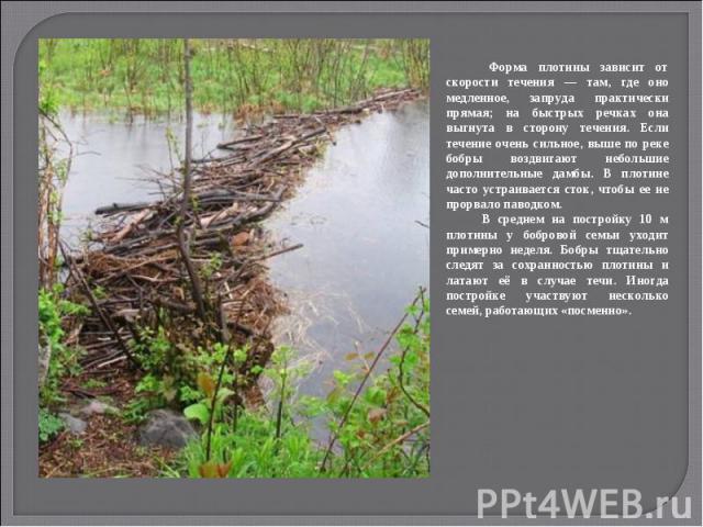 Форма плотины зависит от скорости течения — там, где оно медленное, запруда практически прямая; на быстрых речках она выгнута в сторону течения. Если течение очень сильное, выше по реке бобры воздвигают небольшие дополнительные дамбы. В плотине част…