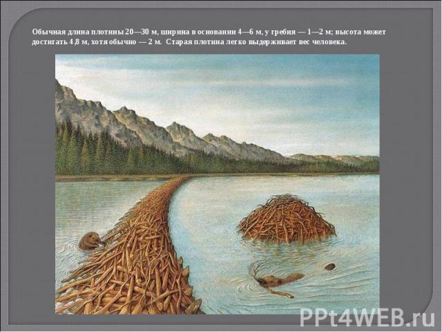 Обычная длина плотины 20—30 м, ширина в основании 4—6 м, у гребня — 1—2 м; высота может достигать 4,8 м, хотя обычно — 2 м. Старая плотина легко выдерживает вес человека.