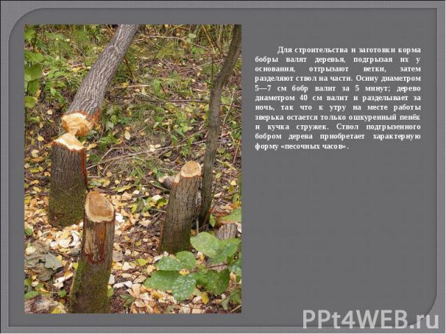 Для строительства и заготовки корма бобры валят деревья, подгрызая их у основания, отгрызают ветки, затем разделяют ствол на части. Осину диаметром 5—7 см бобр валит за 5 минут; дерево диаметром 40 см валит и разделывает за ночь, так что к утру на м…