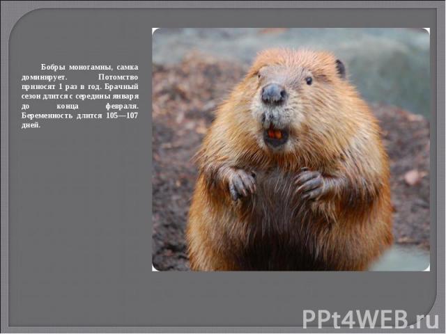Бобры моногамны, самка доминирует. Потомство приносят 1 раз в год. Брачный сезон длится с середины января до конца февраля. Беременность длится 105—107 дней.