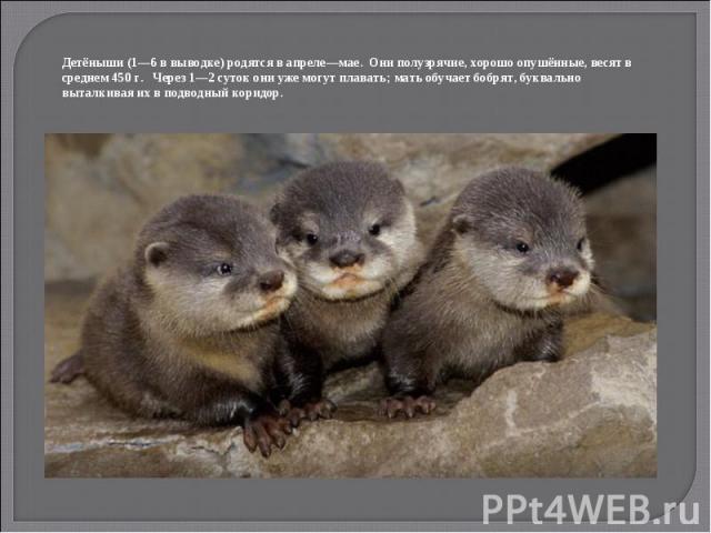 Детёныши (1—6 в выводке) родятся в апреле—мае. Они полузрячие, хорошо опушённые, весят в среднем 450 г. Через 1—2 суток они уже могут плавать; мать обучает бобрят, буквально выталкивая их в подводный коридор.