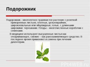 Подорожник Подорожник - многолетнее травянистое растение с розеткой прикорневых