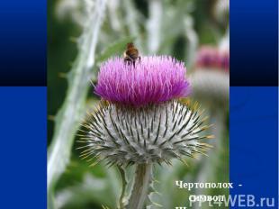 Чертополох - символ Шотландии