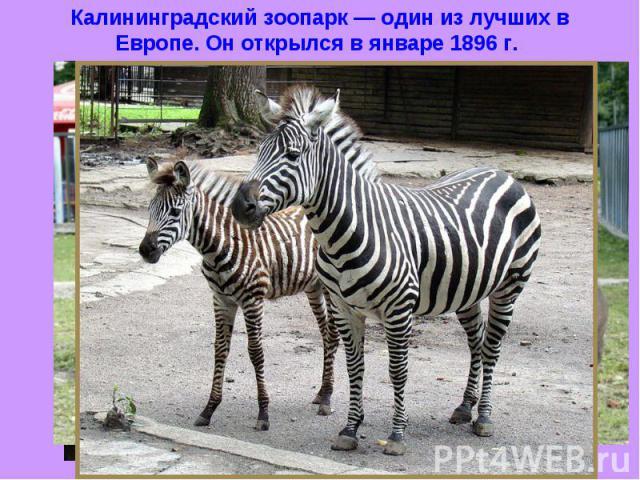 Калининградский зоопарк — один из лучших в Европе. Он открылся в январе 1896 г.