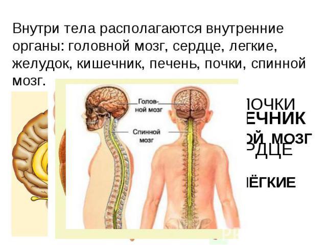 Внутри тела располагаются внутренние органы: головной мозг, сердце, легкие, желудок, кишечник, печень, почки, спинной мозг.