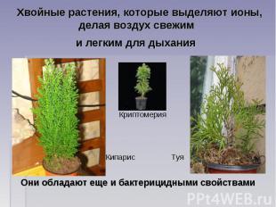Хвойные растения, которые выделяют ионы, делая воздух свежим и легким для дыхани