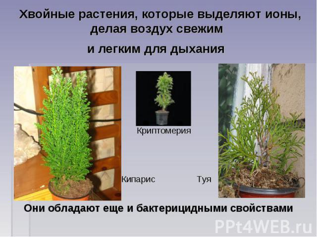 Хвойные растения, которые выделяют ионы, делая воздух свежим и легким для дыхания Криптомерия Кипарис ТуяОни обладают еще и бактерицидными свойствами