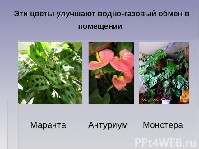 Эти цветы улучшают водно-газовый обмен в помещении Маранта Антуриум Монстера